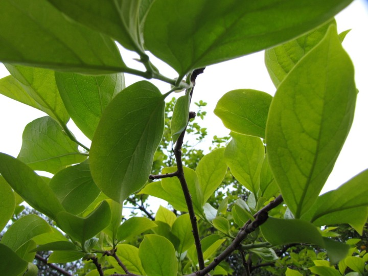 green-canopy