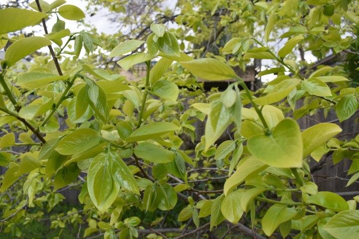 persimmon- blooming