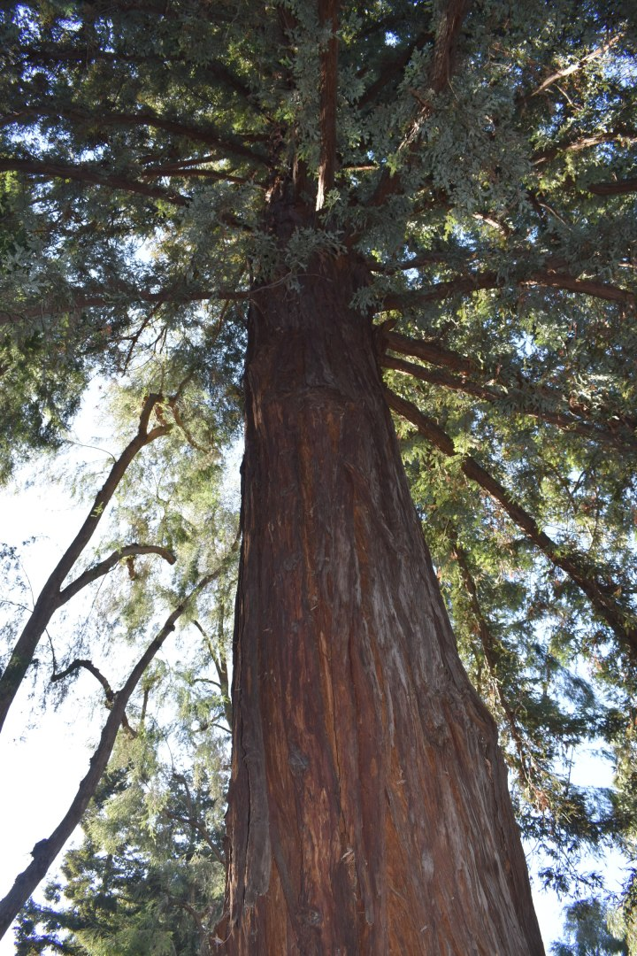 san jose redwood